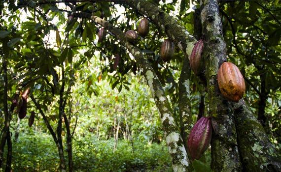 1444302104832967 cacao4