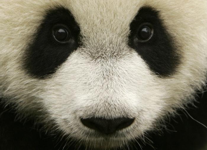1463514789604521 giant panda r