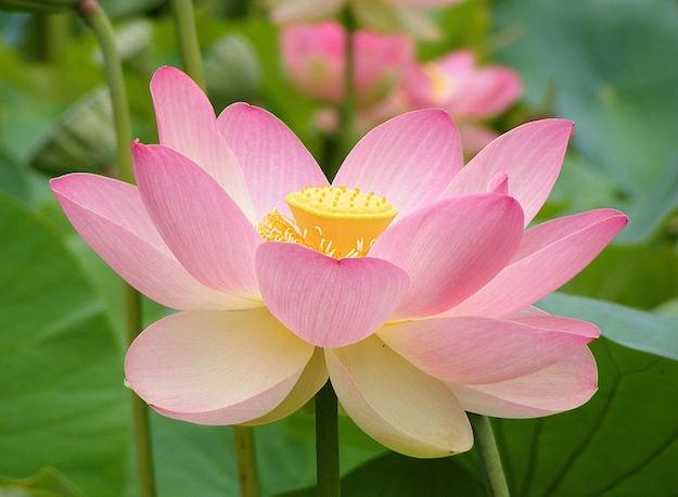 1467385977413484 fiore di loto