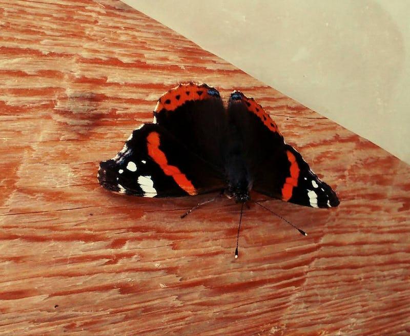 1488907652539101 farfalla