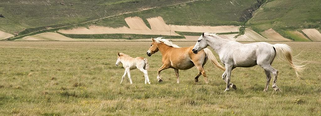1524566089768116 calendario sibillini cavalli al piano grande