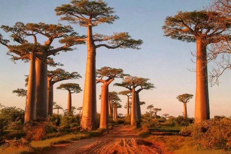 1591090681736499 baobab