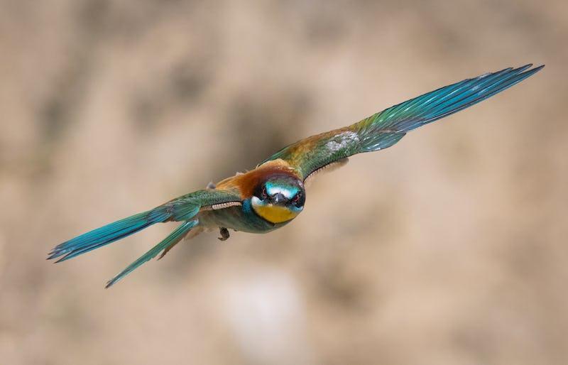 1614078127645386  foto di gruccioni martin pescatore gruccione in volo a caccia di insetti