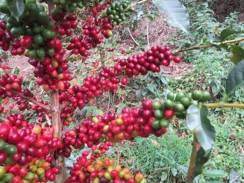 1614120512918059 wetcaffe torrefazione tostatura a legna certificazione iologica tracciabilit caff verde roma